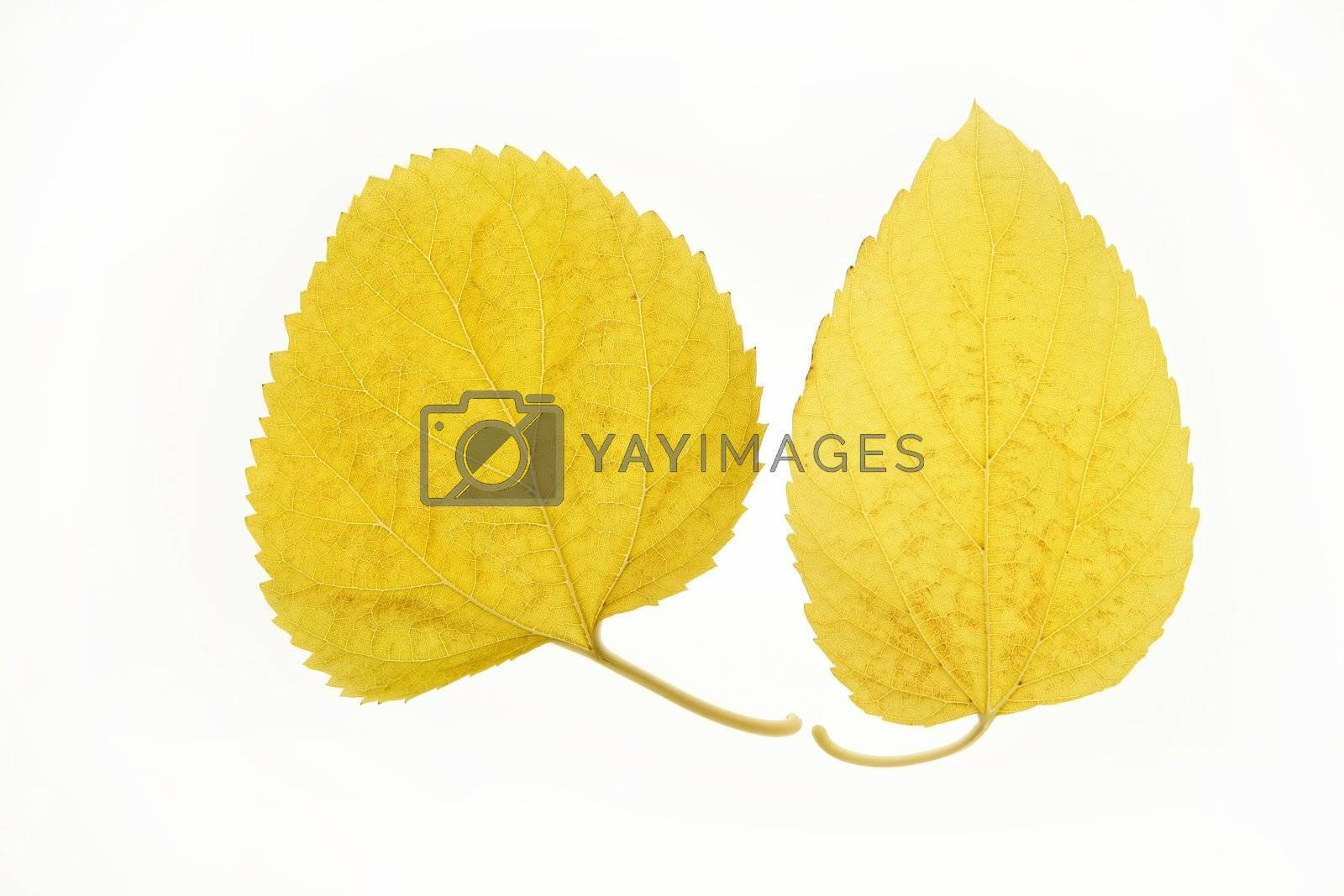Royalty free image of Autumn, fall leaves decorative still at studio white background by lunamarina