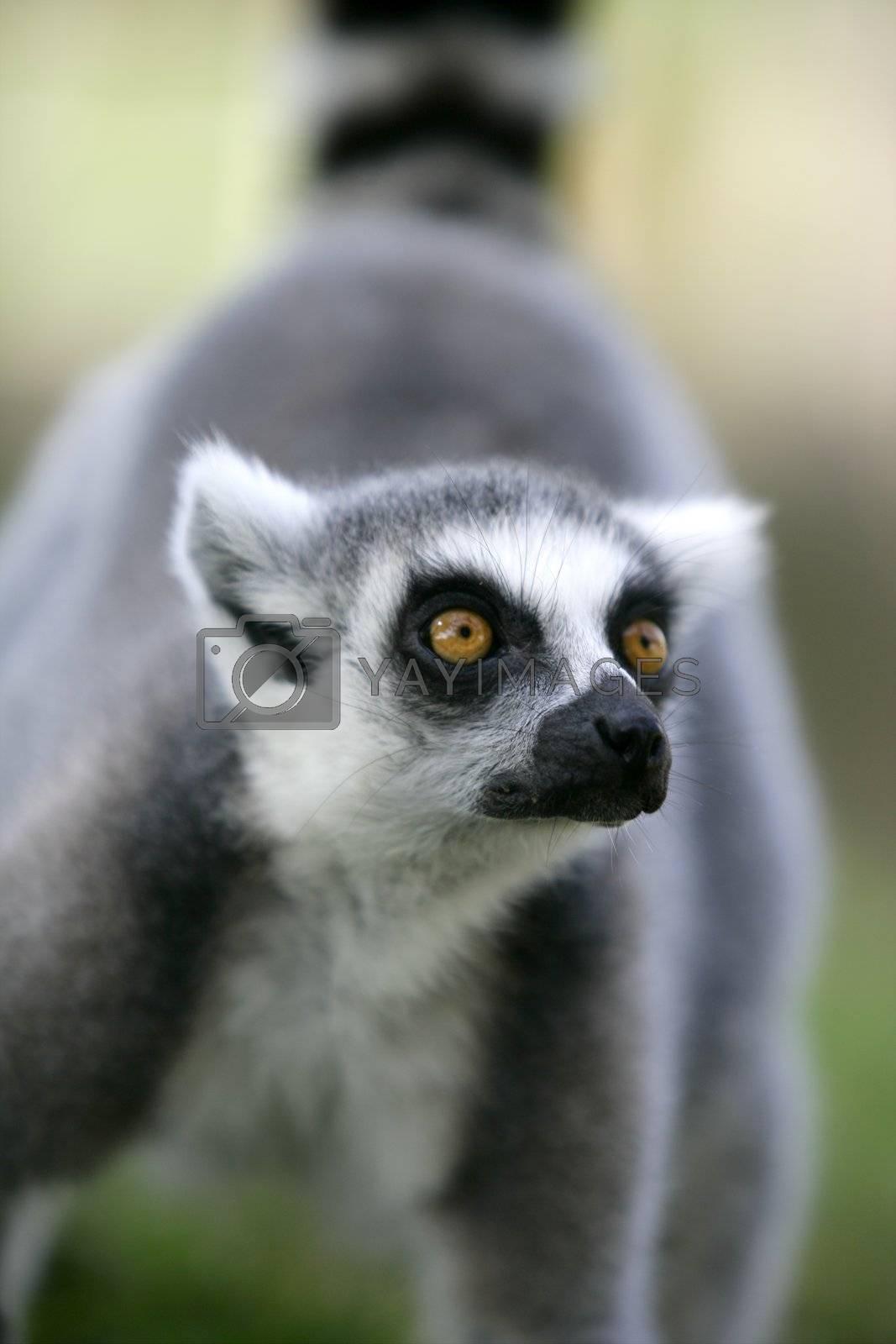 Royalty free image of Madagascar Ring Tailed Lemur by lunamarina