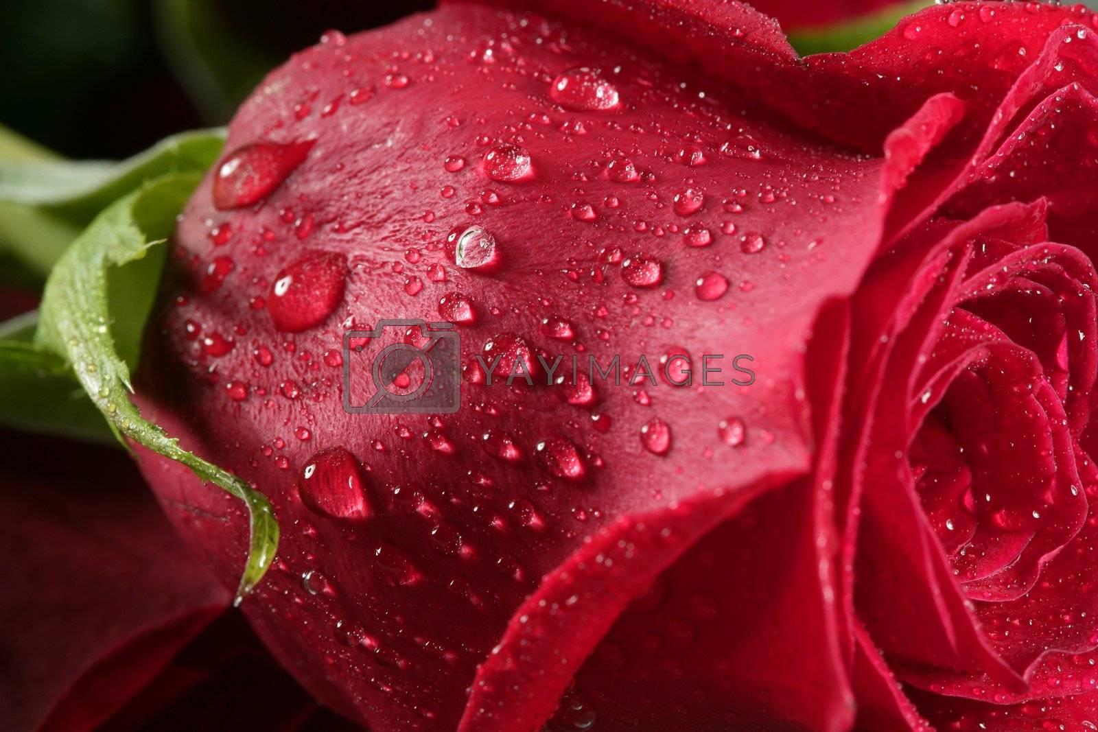 Royalty free image of Wet close up macro rose petals, water drops by lunamarina