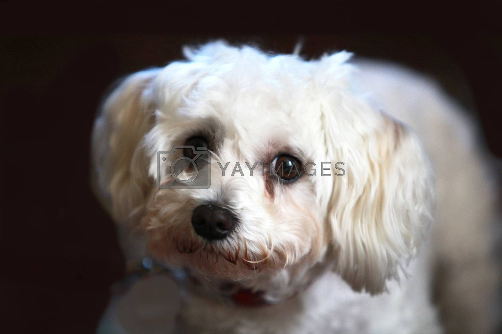 Royalty free image of white dog looks into the camera by Farina6000