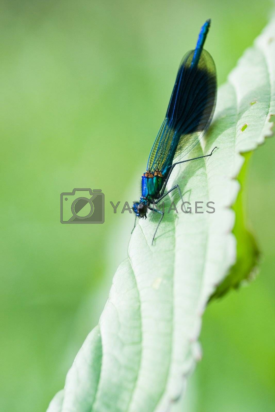 Royalty free image of Male Banded Demoiselle sitting on leaf by Colette