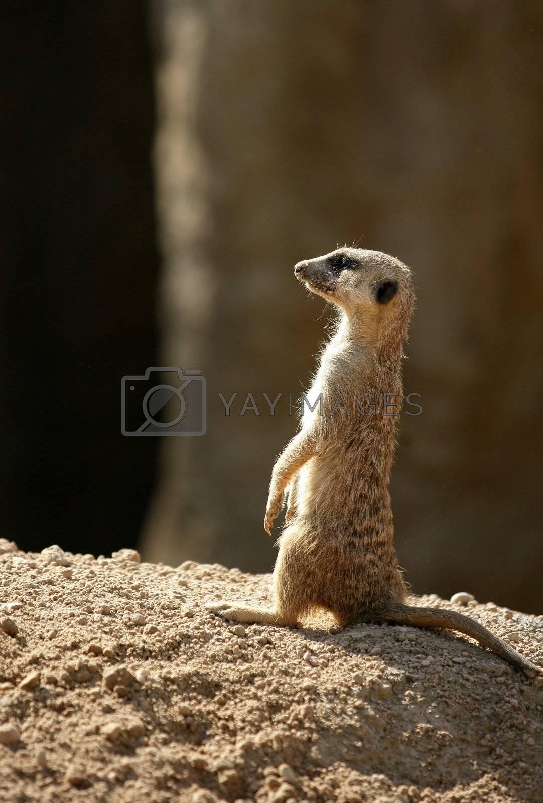 Royalty free image of African suricata standing alert by lunamarina