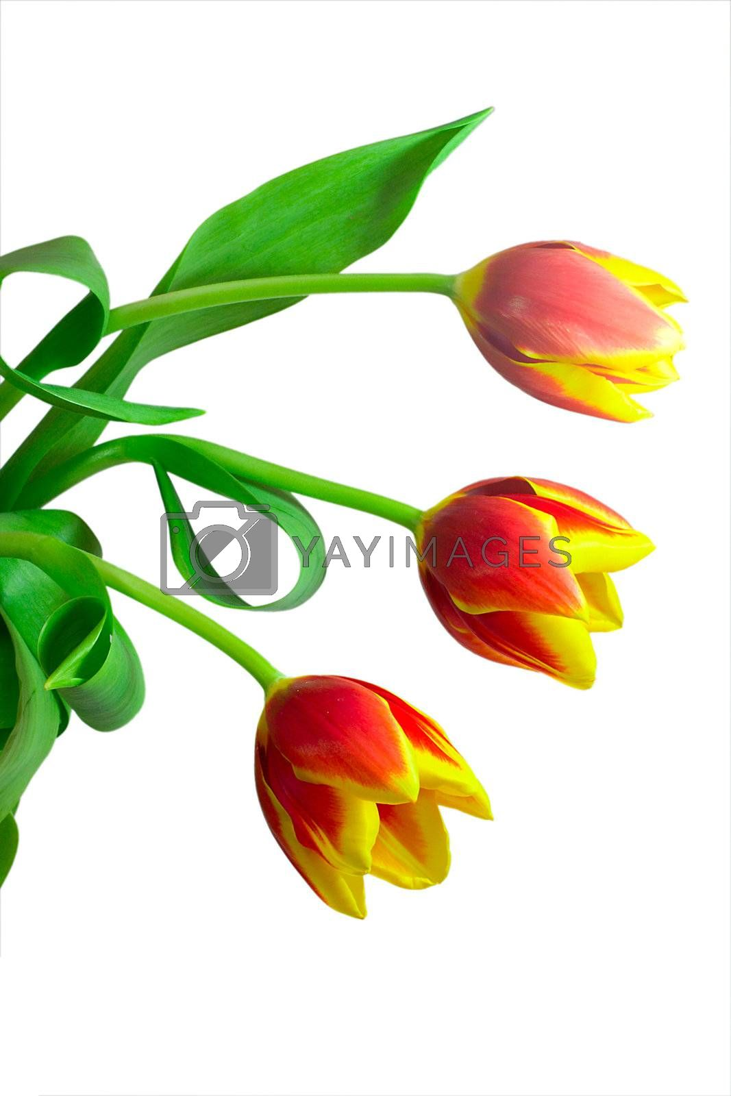 close-up bunch of three tulips, isolated on white