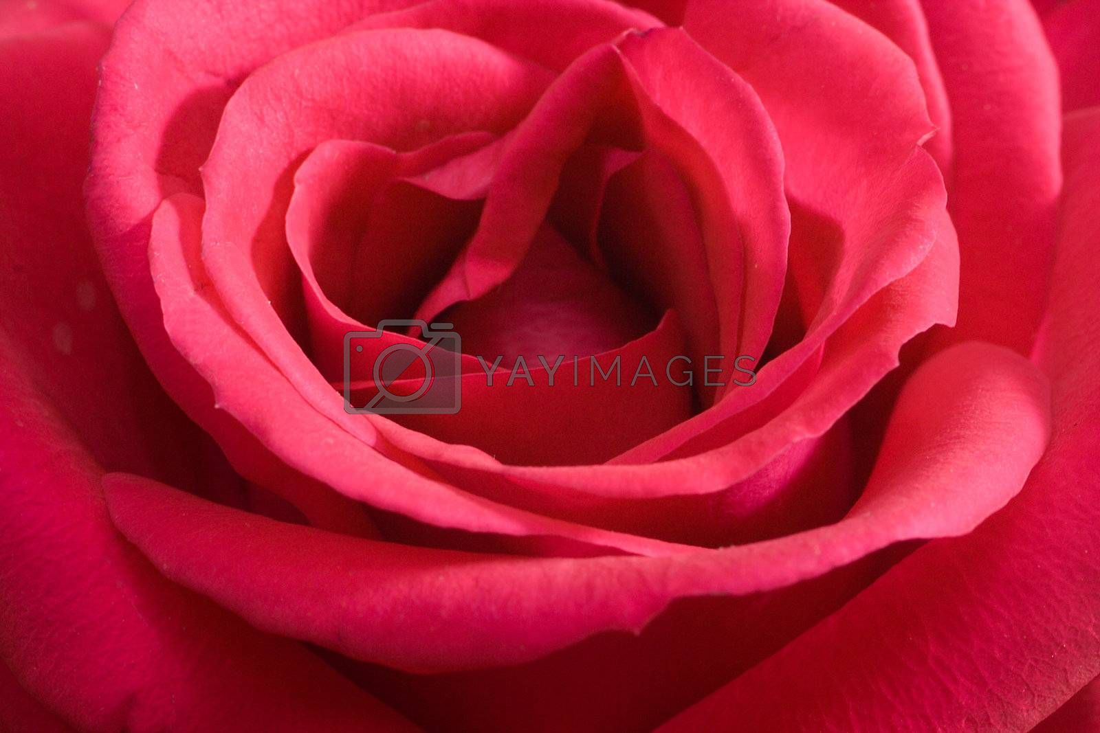 close-up pink rose, view from above, macro shot