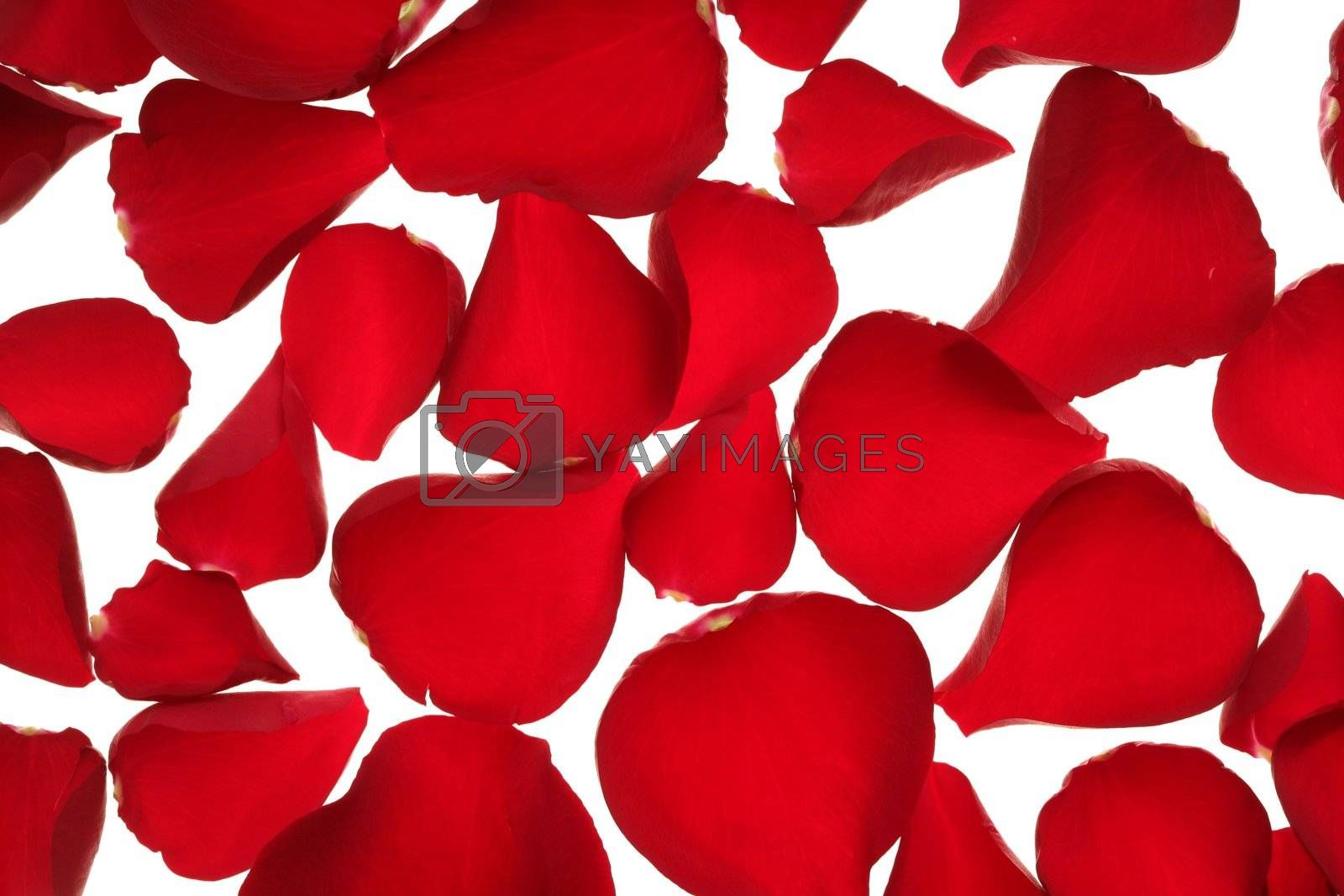 Royalty free image of Red rose petals texture background by lunamarina