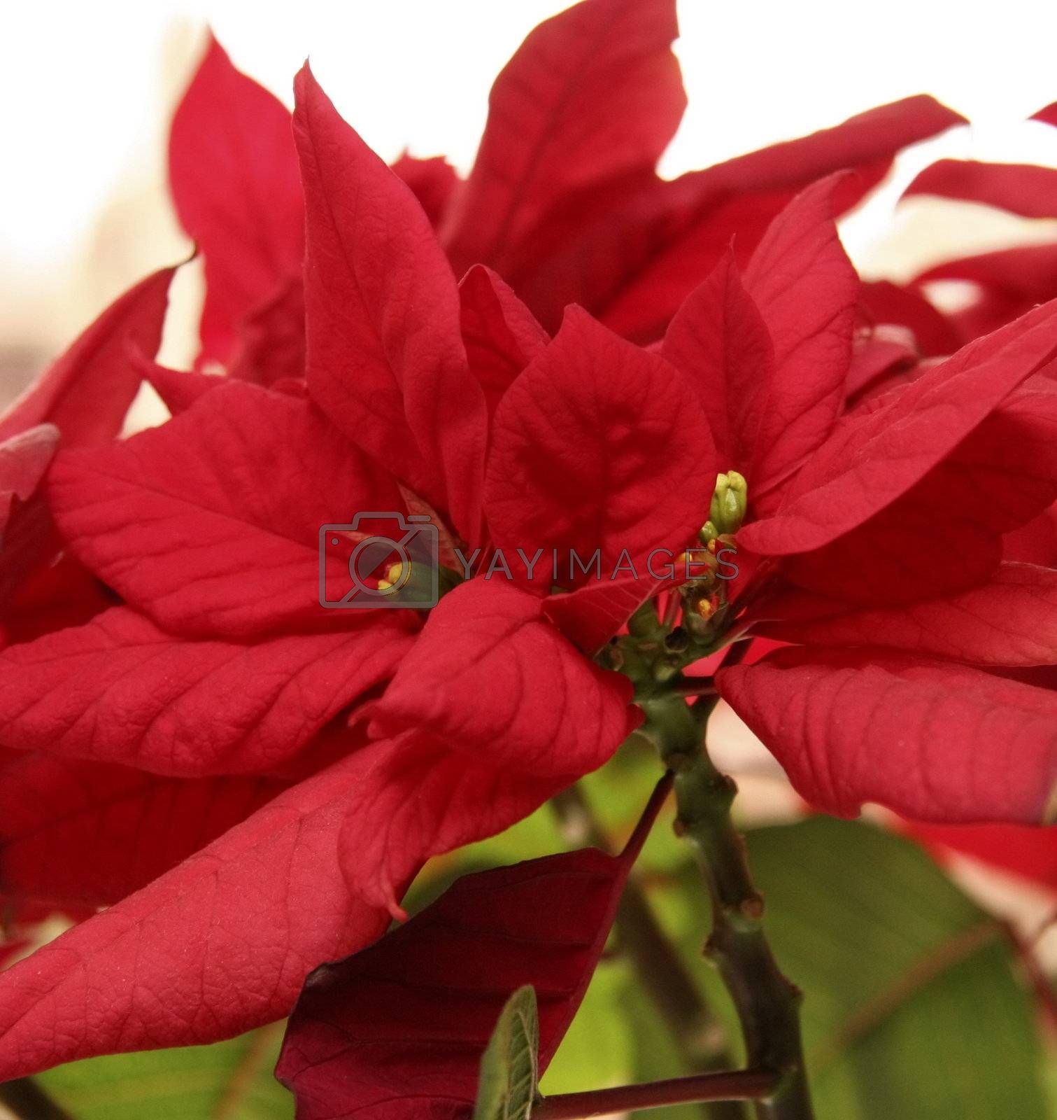 Royalty free image of red poinsettia by leafy