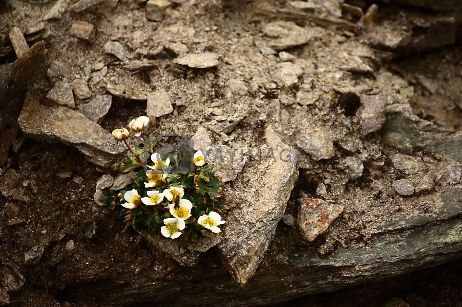 Royalty free image of Ranunculus Alpestris by cflux
