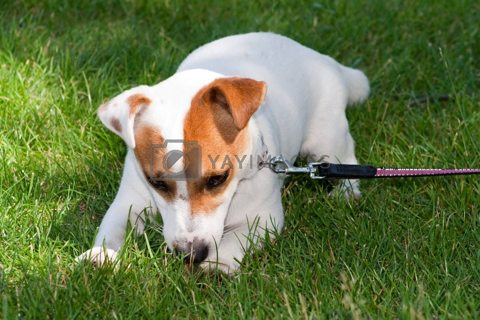 Royalty free image of Jack Russell Terrier by tmirlin