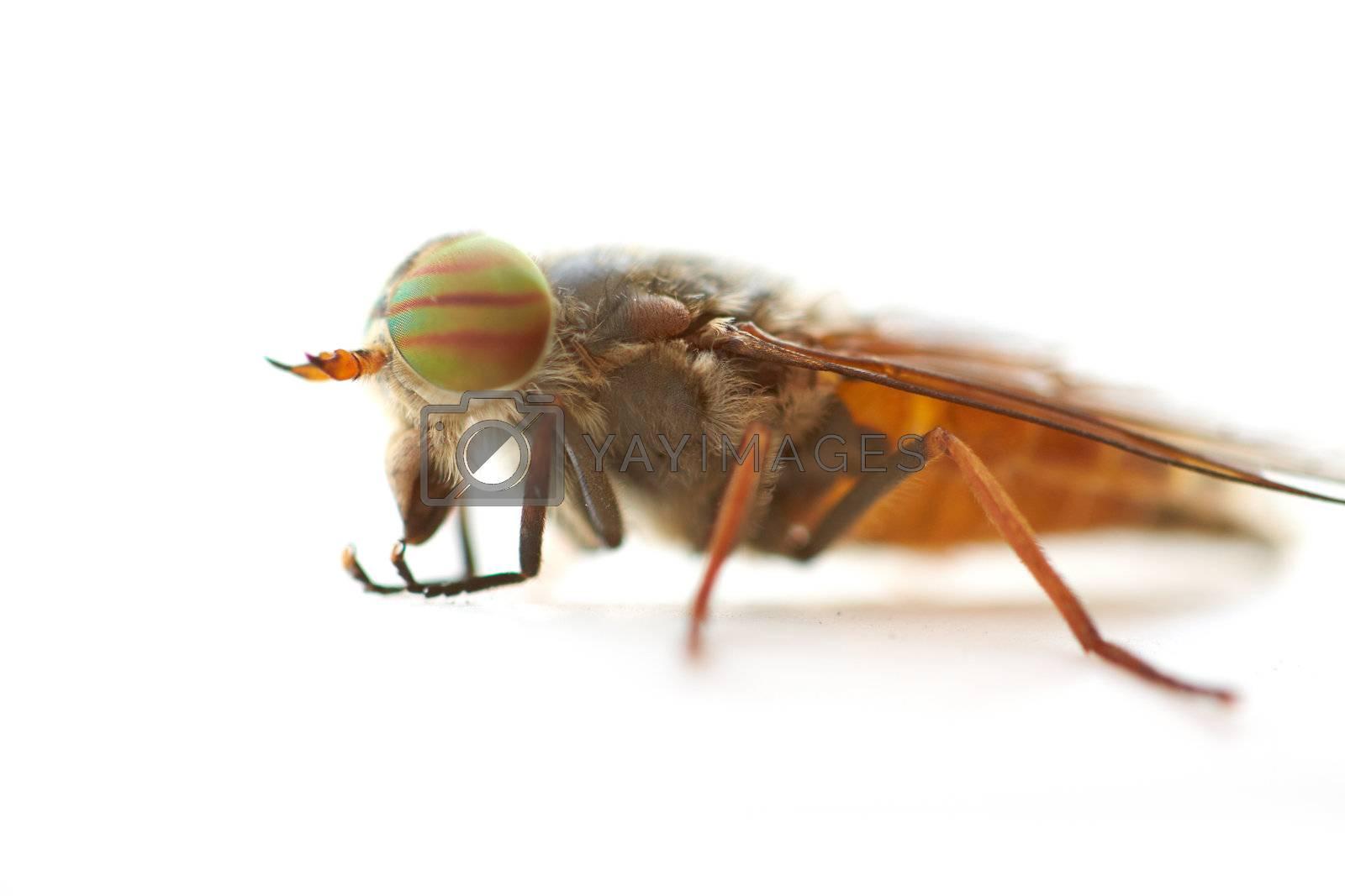 Macro shot of fly on white background