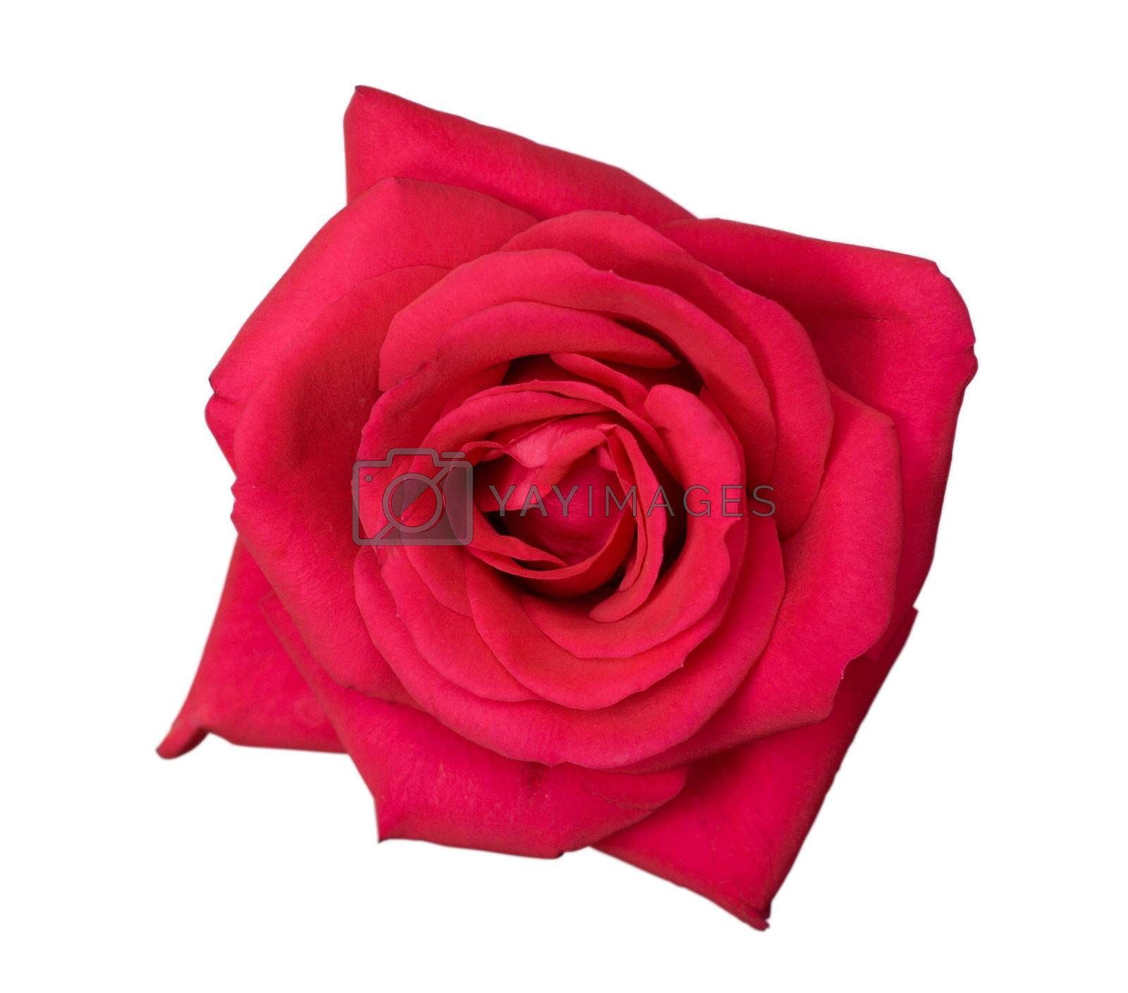 close-up flower of pink rose, isolated on white