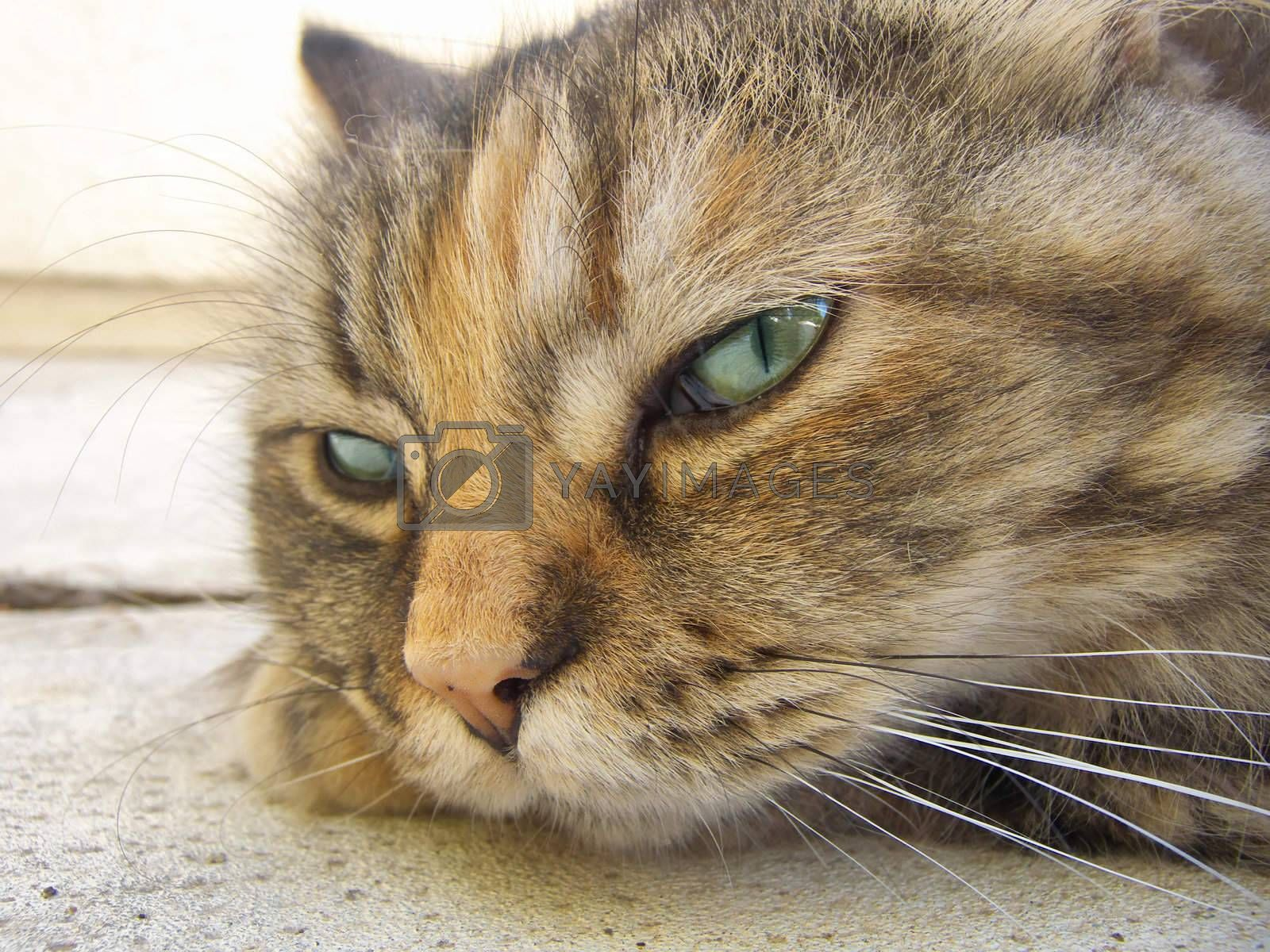 close-up image of a Persian cat with green eyes
