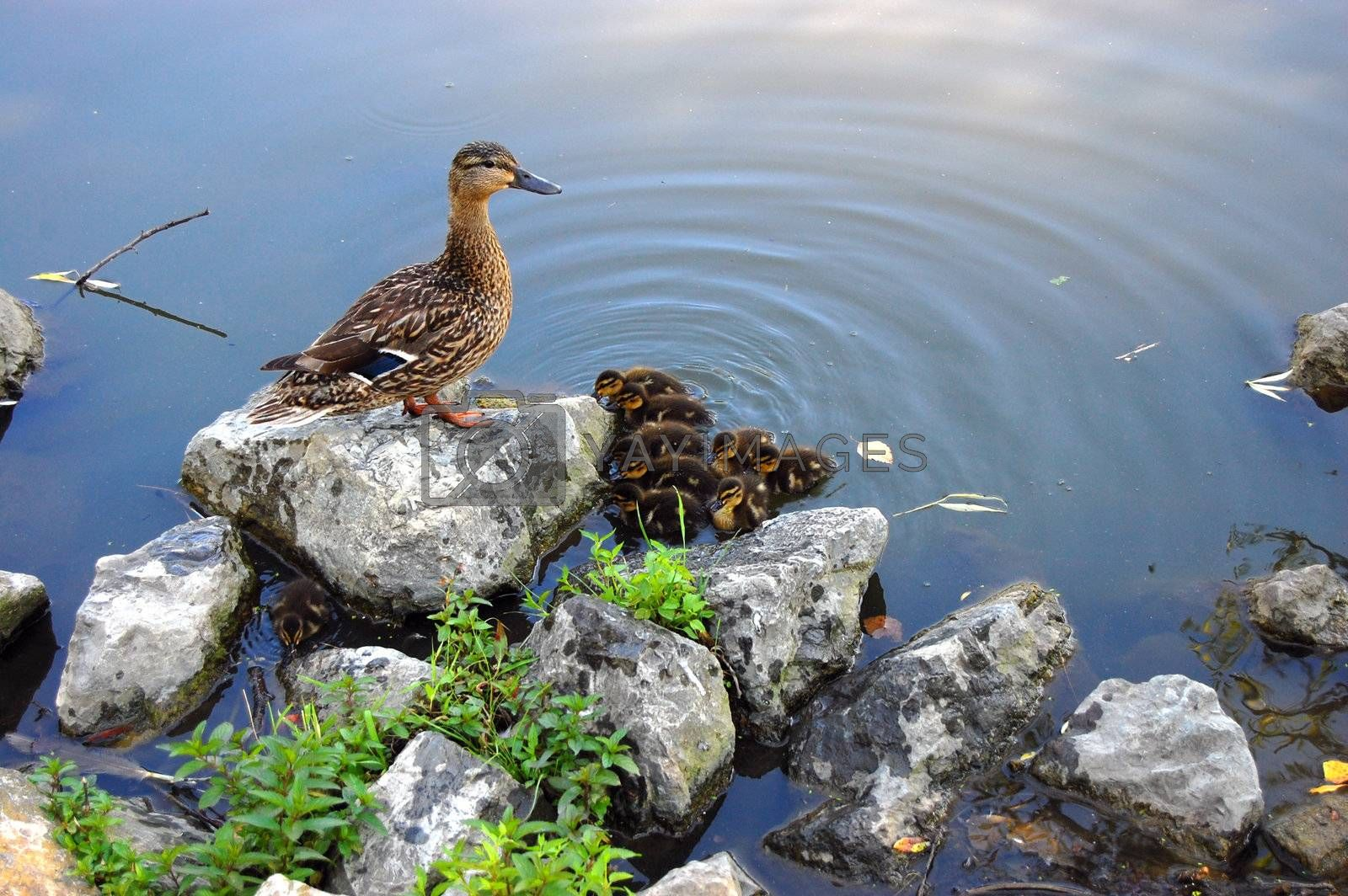 Duck and babies in pond
