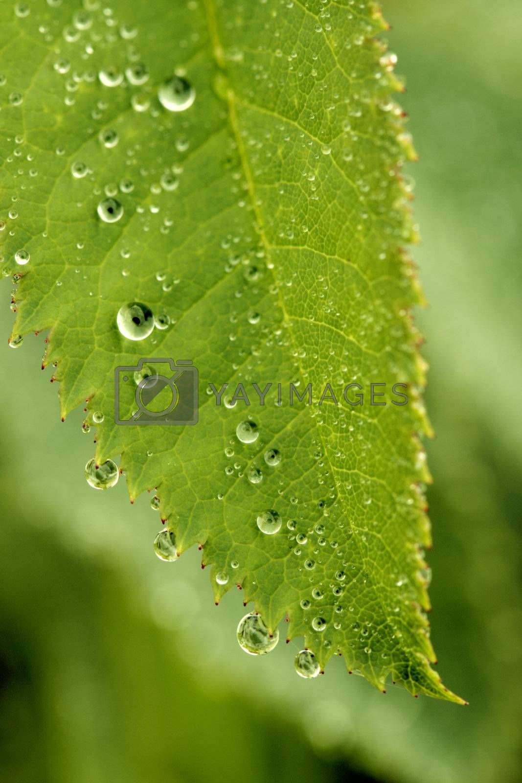 Macro shot of green leaf with water drops from dew and veins