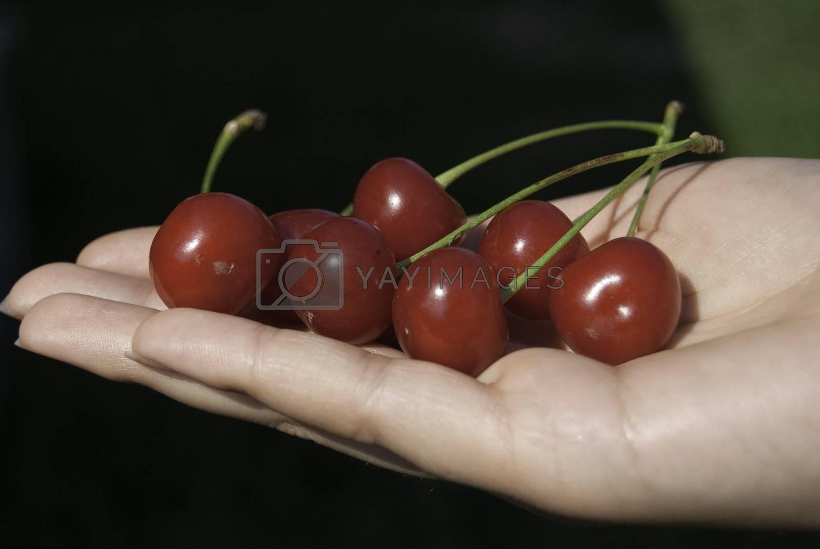 sweet cherry in hands
