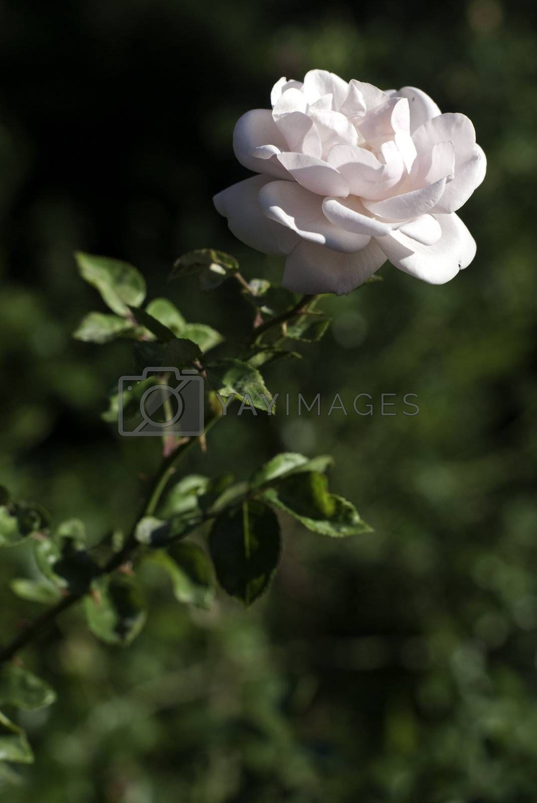 nice white rose with green background