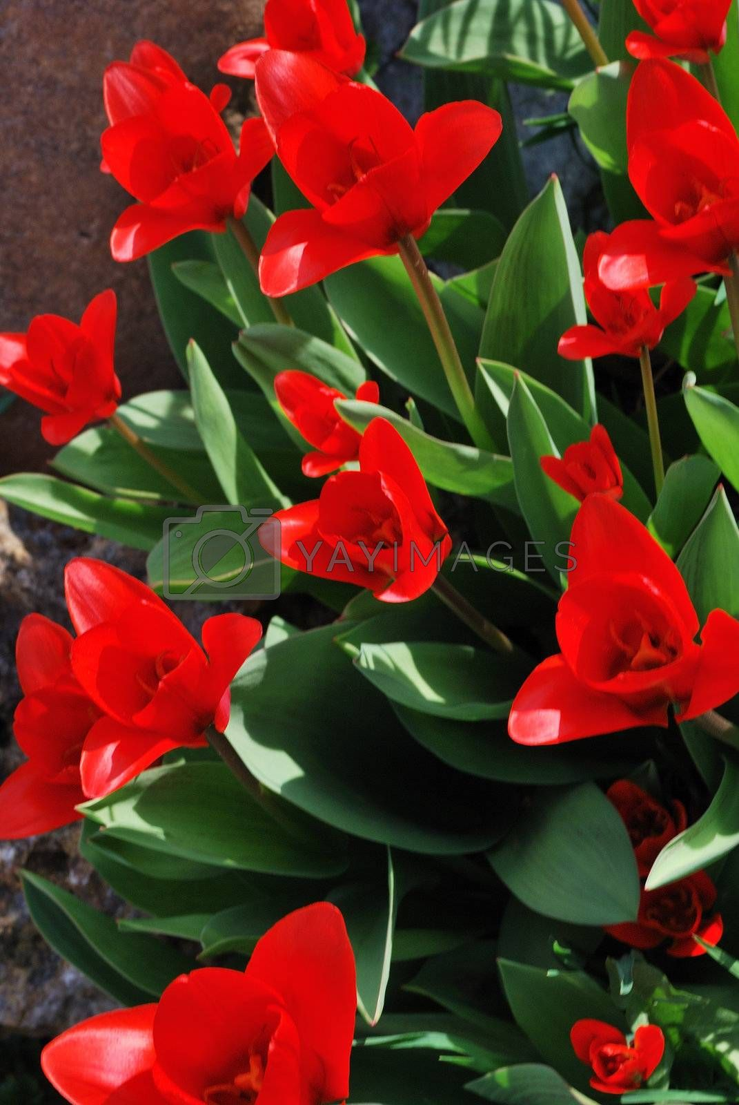 lot of red tulip flower in the spring