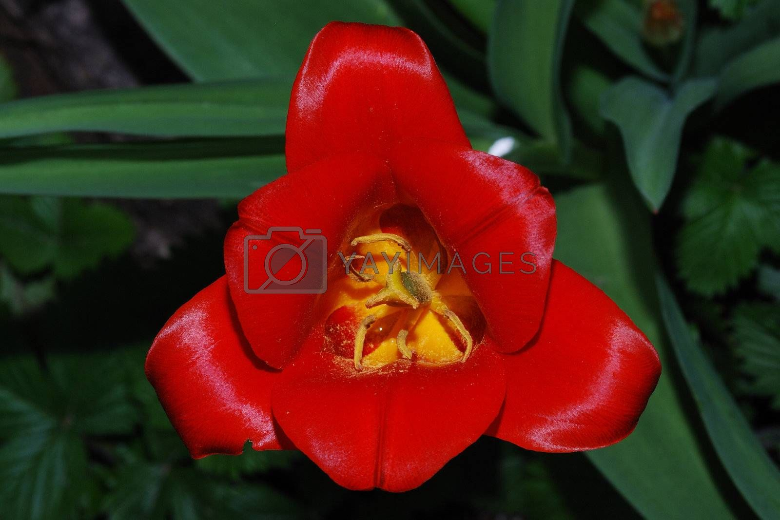 close up from a red tulip top view in the spring