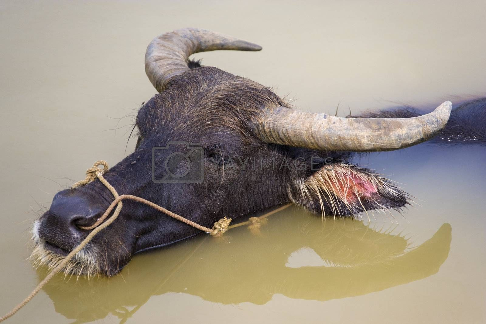 Image of a water buffalo at a farm located at Guilin, Guangxi Zhuang Autonomous Region, China.