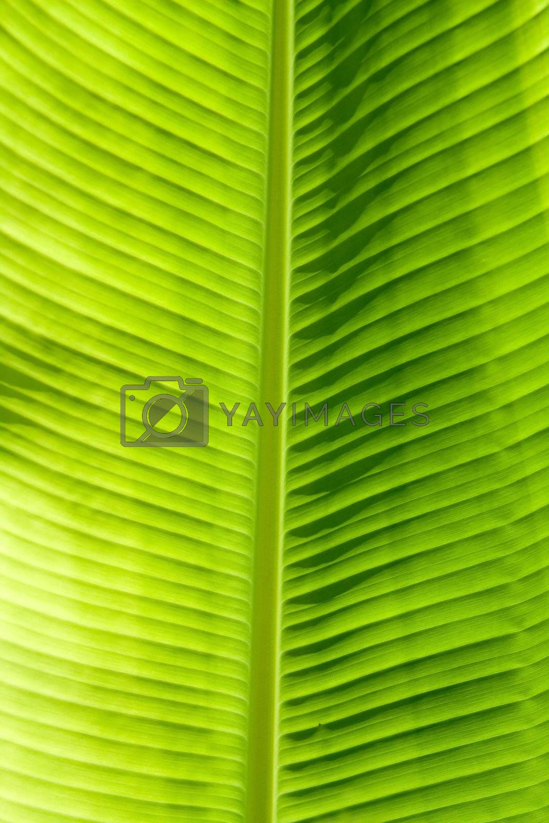Green leaf texture showing all nerves; Chloroplast with chlorophyll giving color to leaf and used for photosynthesis.