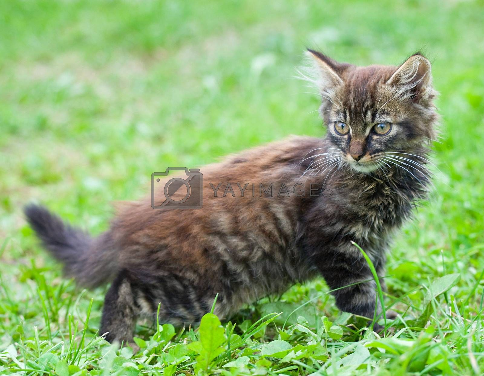 close-up small funny kitten on green grass background