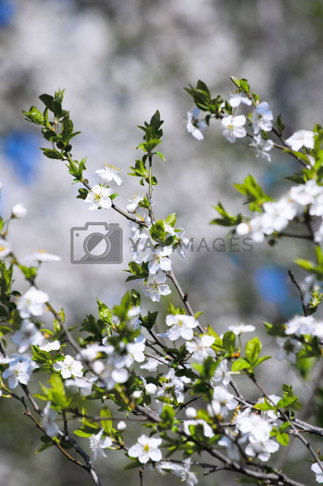 Close-up shot of cherry flowers on branch
