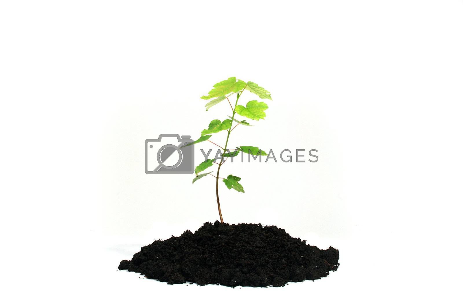 Tree sapling in the earth on a white background.