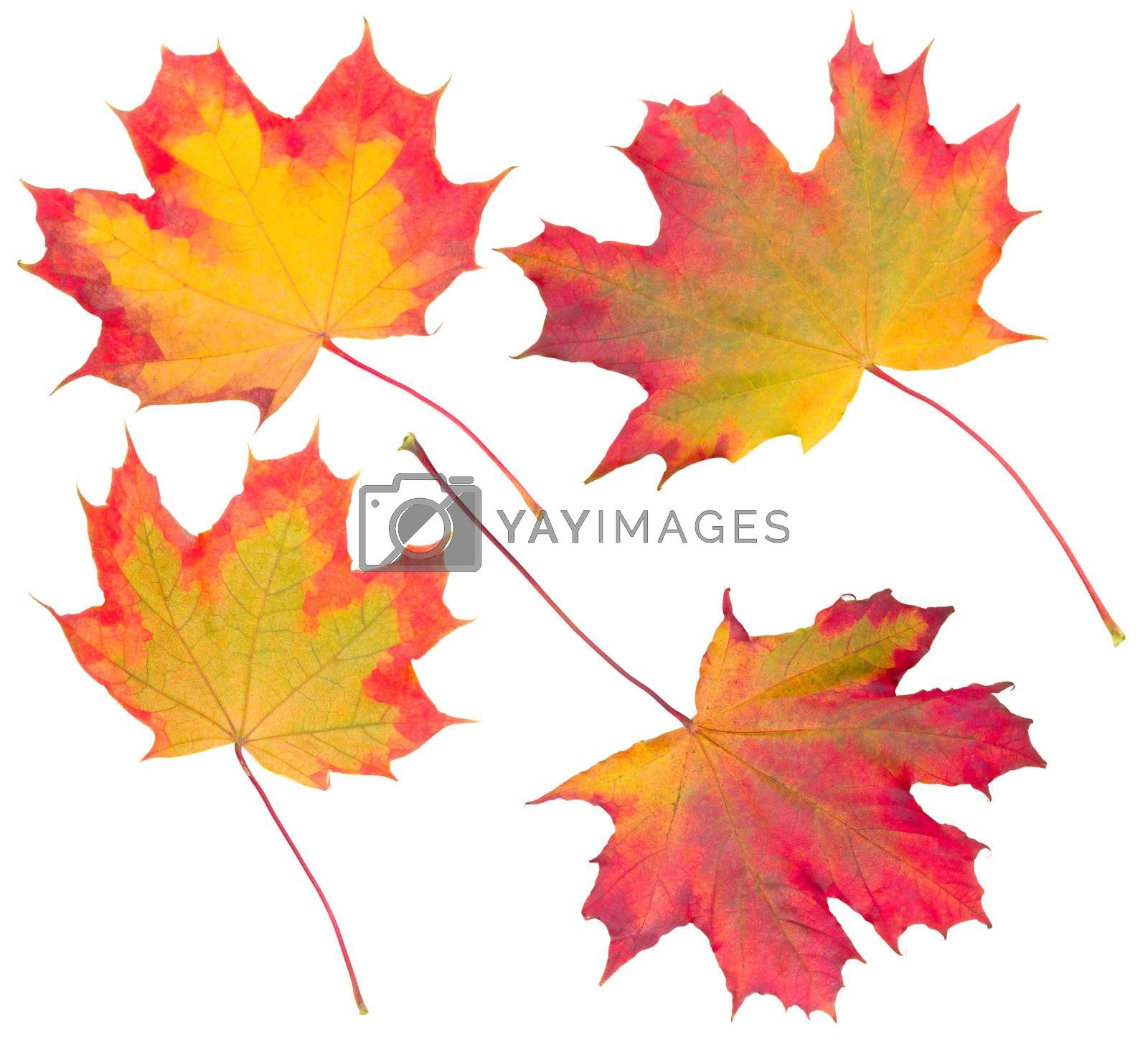 autumn maple leaves collection, isolated on white