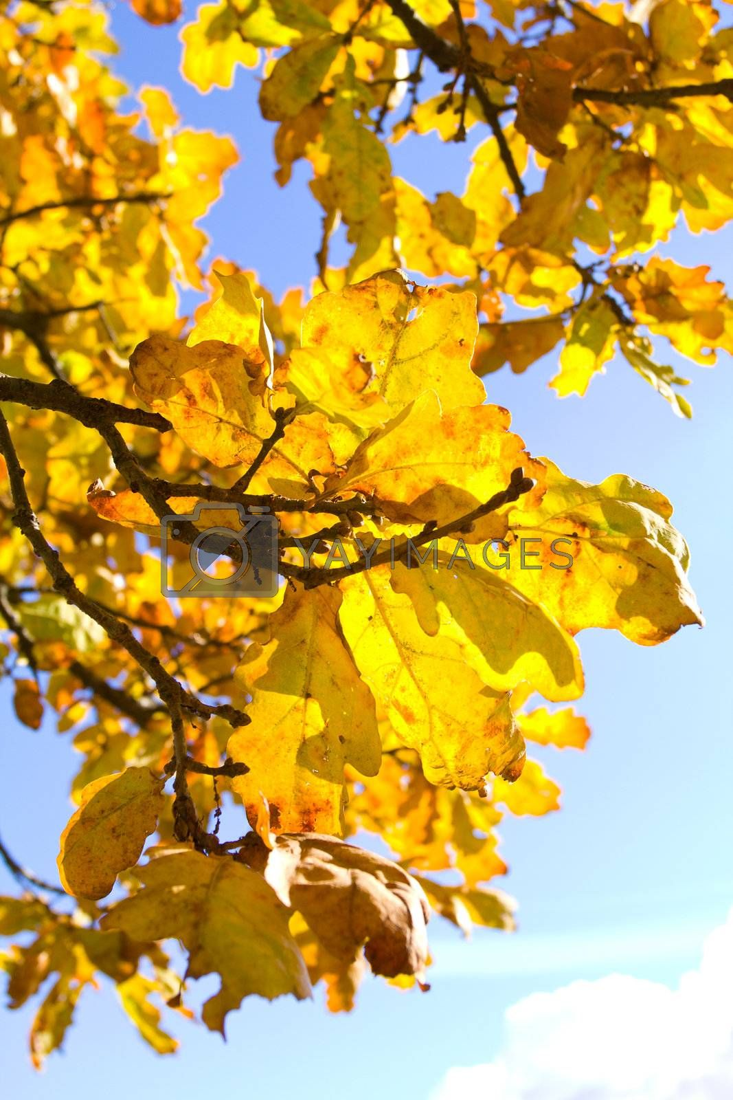 autumn oak leaves against blue sky