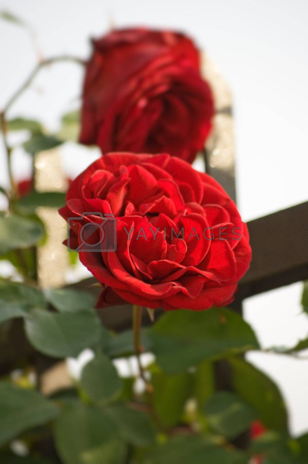 Rose with shallow depth of field