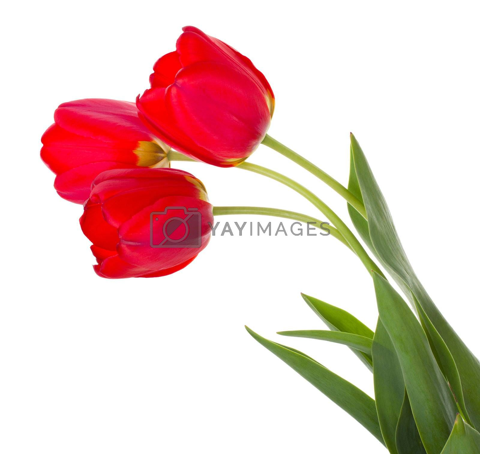 red tulips bouquet by Alekcey