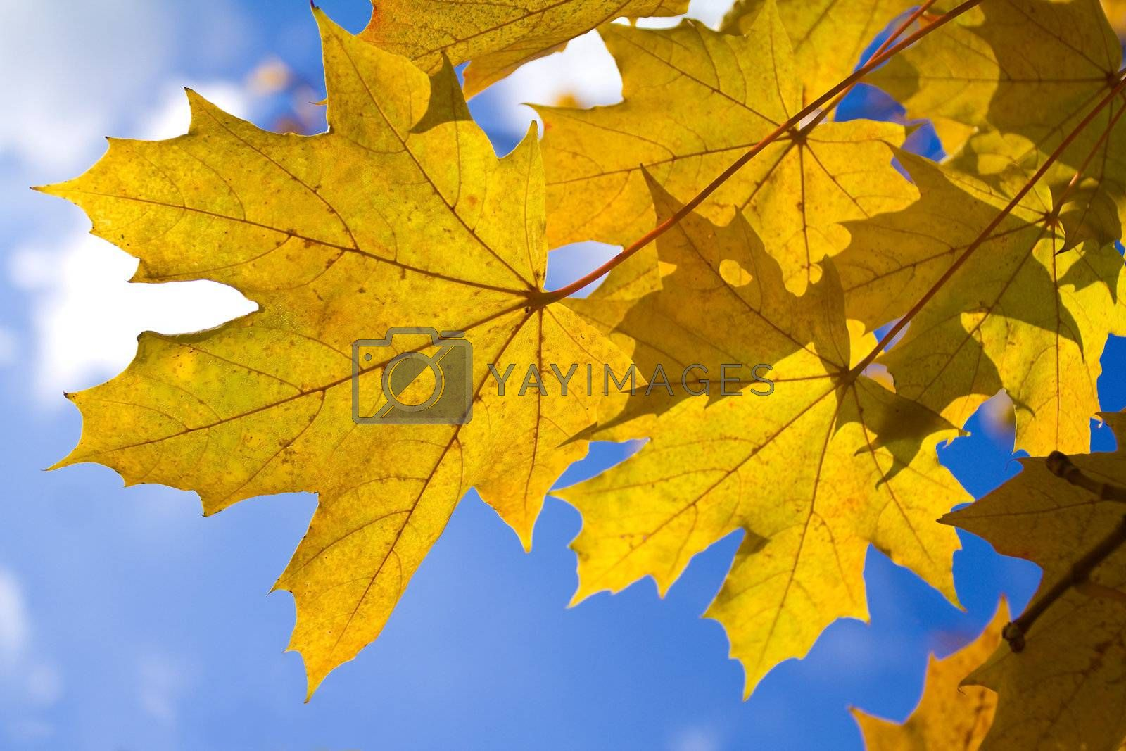 autumn maple leaves by Alekcey