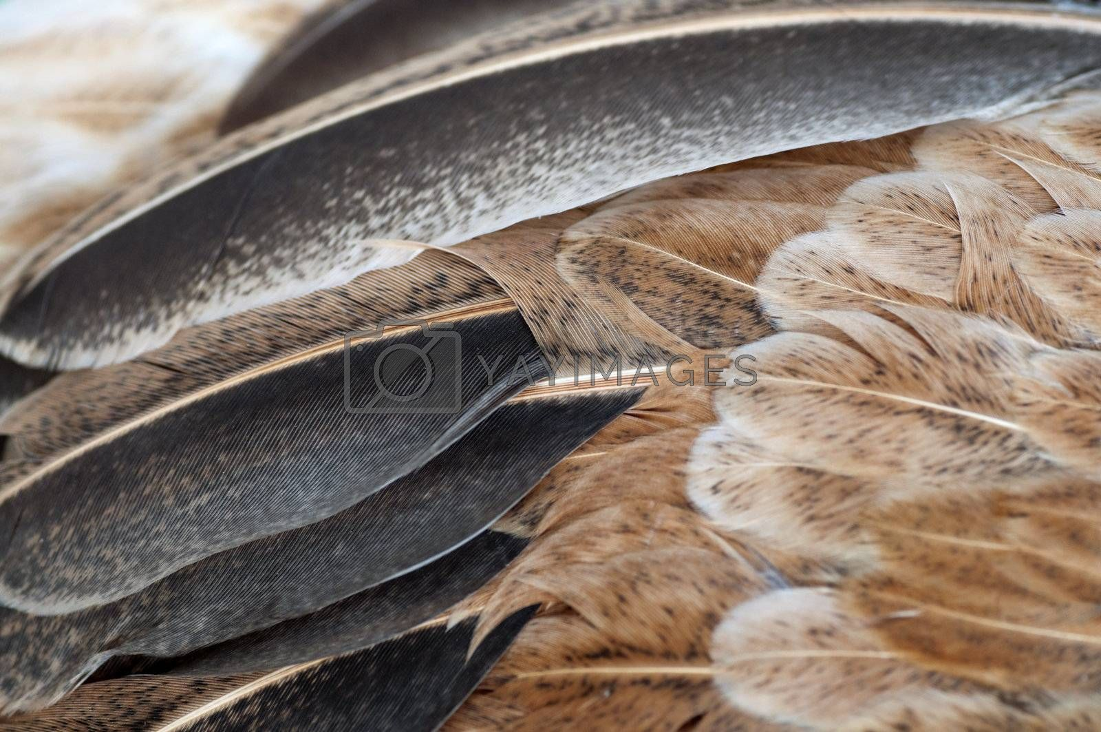 Macro shot feathers of a brown chicken.