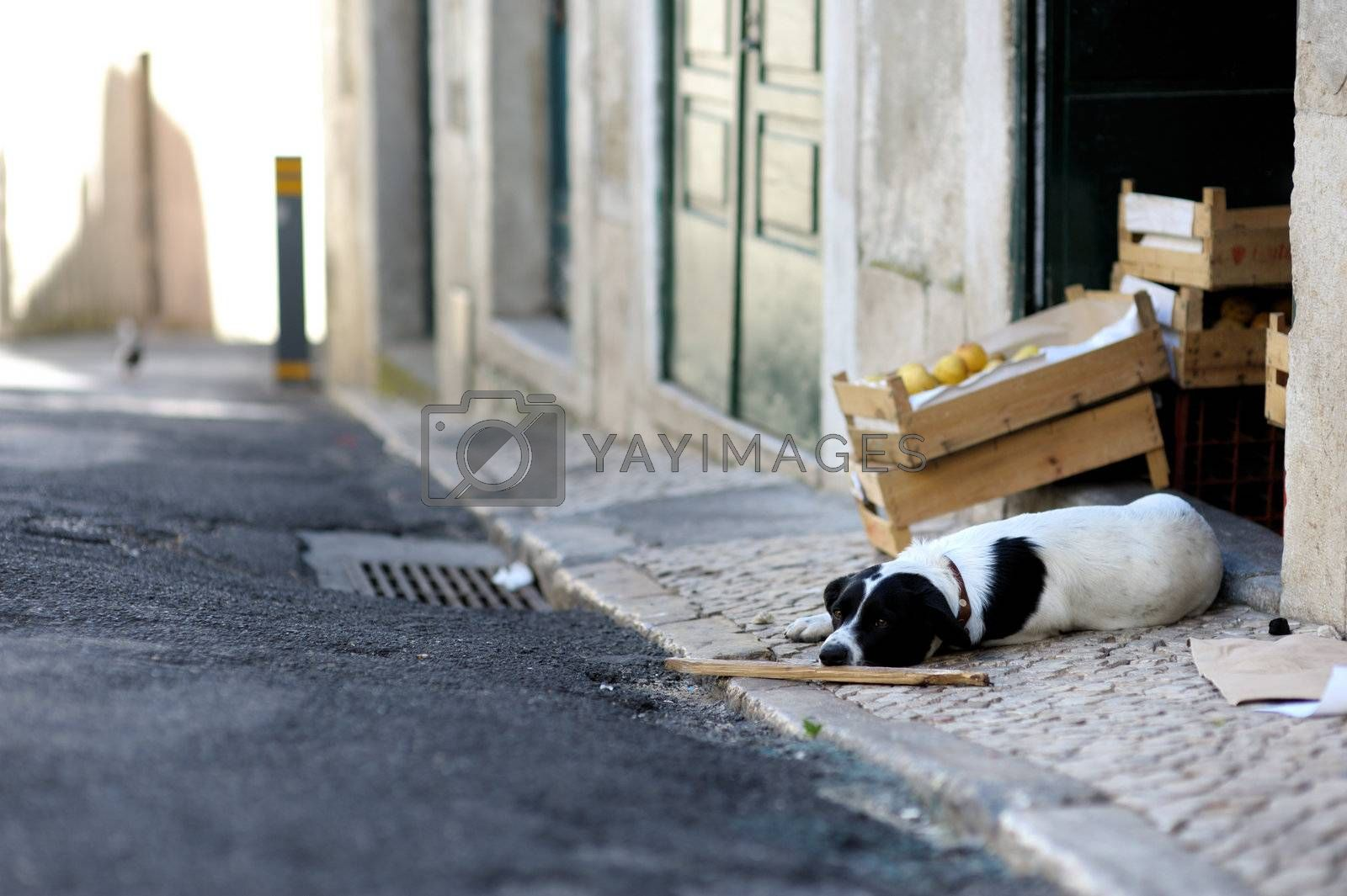 Dog is laying in the street on the old town street