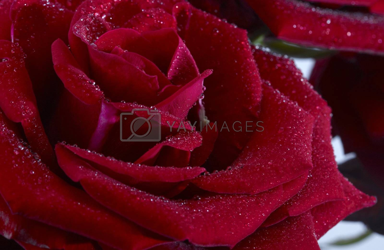 Close-up of a red rose with dew