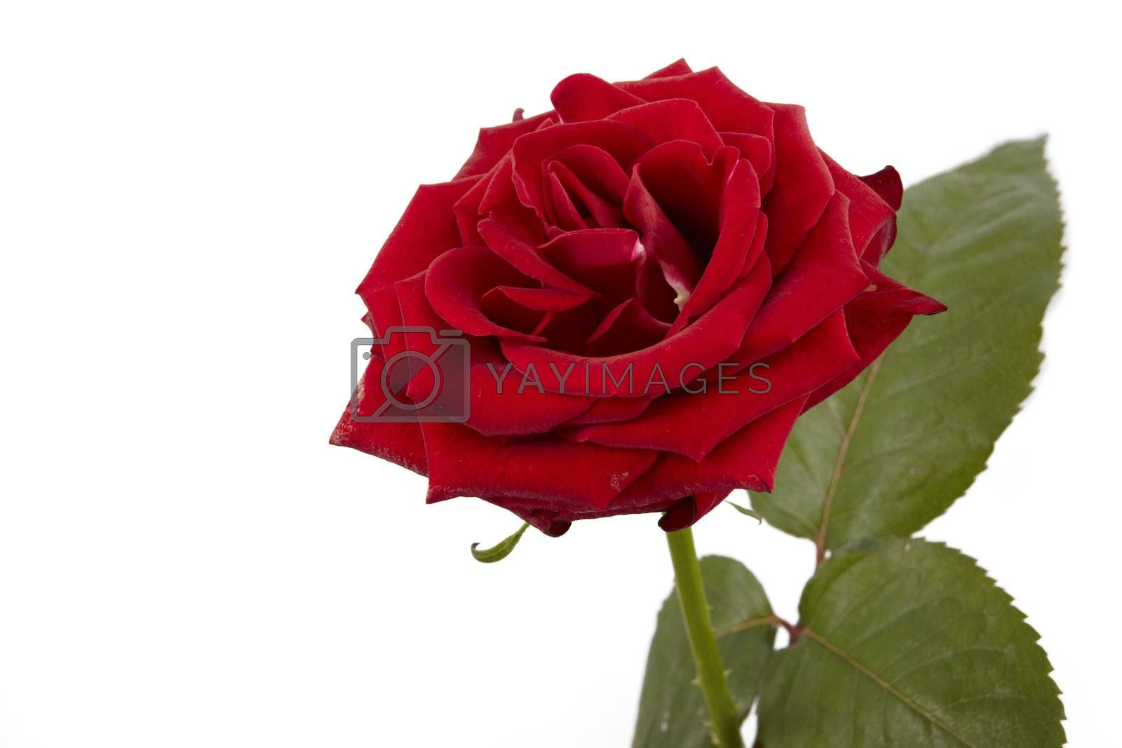 Single red rose isolated in white background