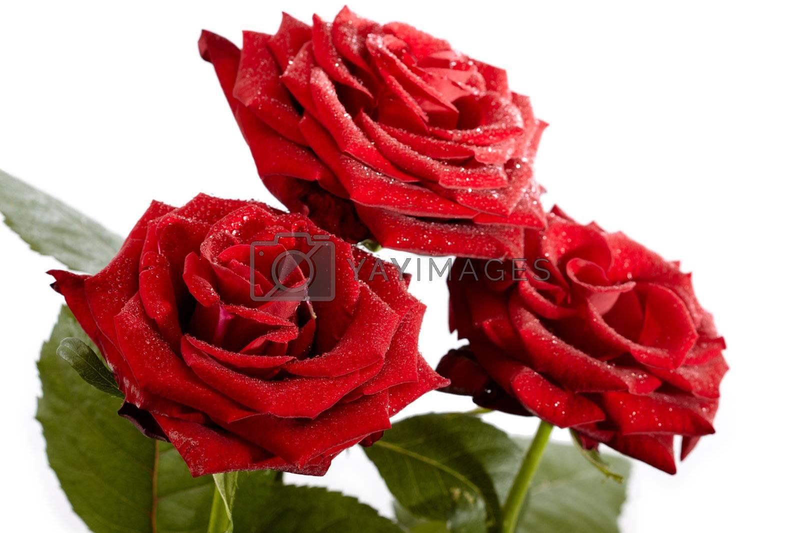 Three roses isolated on white background