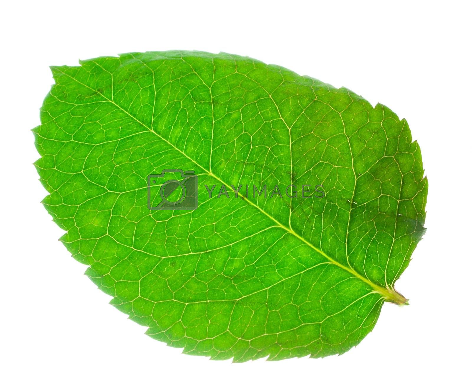 close-up green leaf from rose, isolated on white
