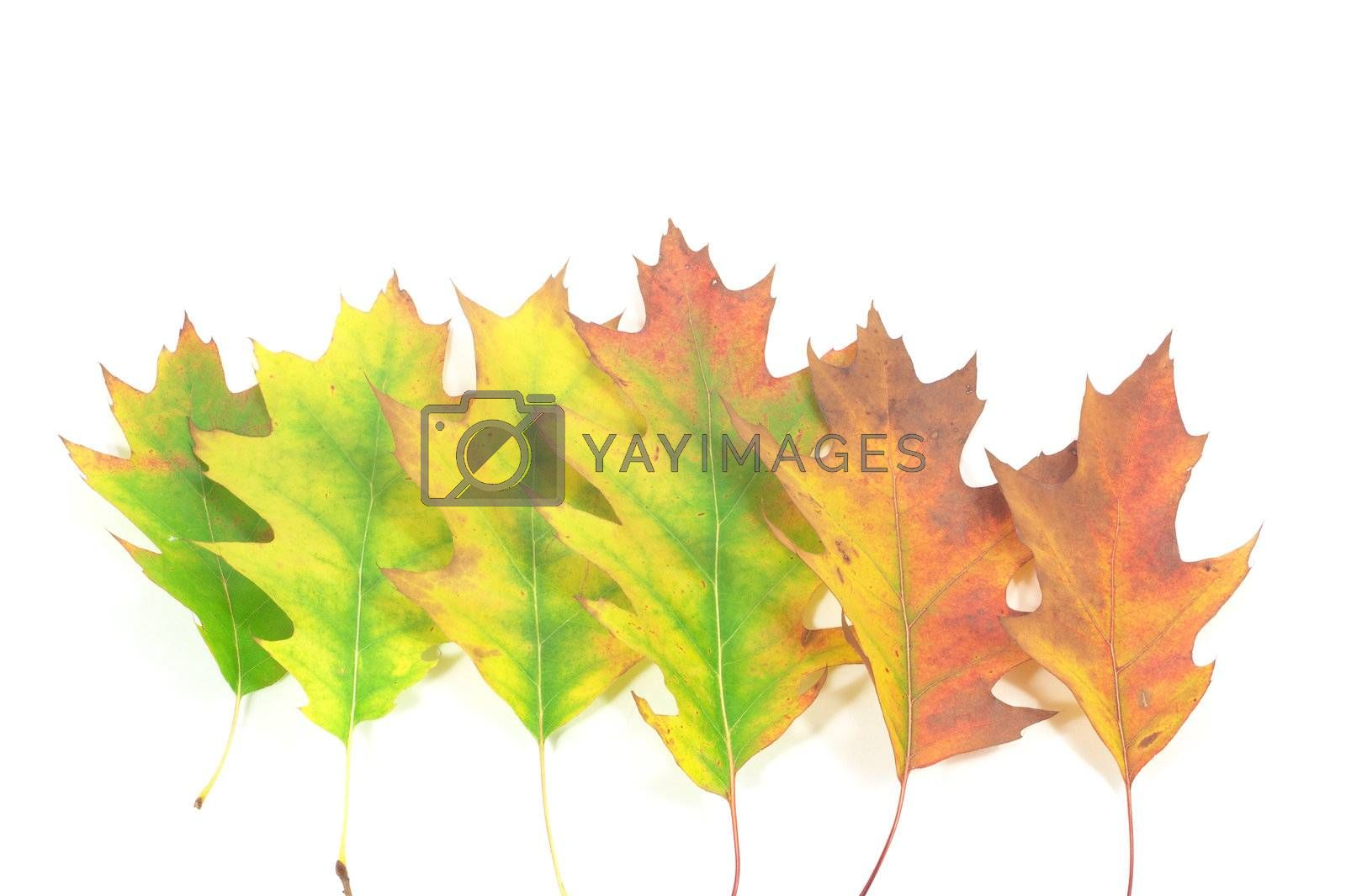 falling oak leafs located one by one, isolated on white