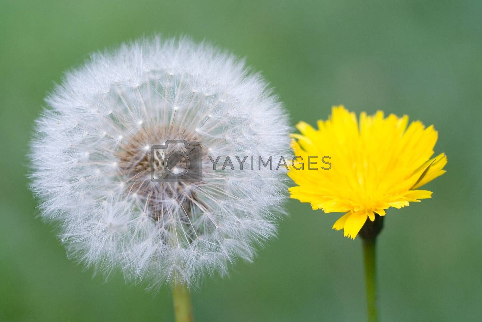 old and young dandelions together over green grass