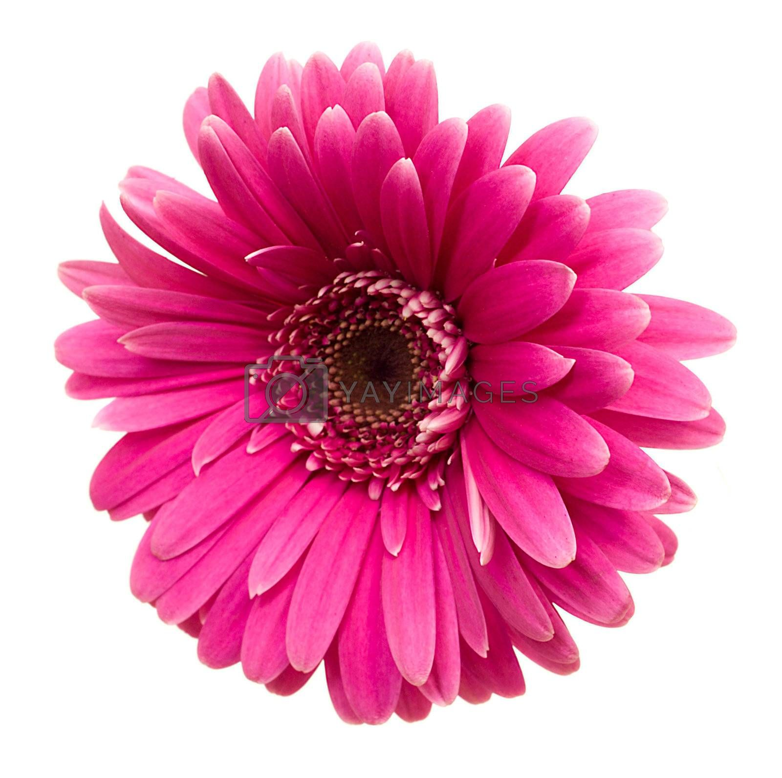close-up single pink gerbera, isolated on white