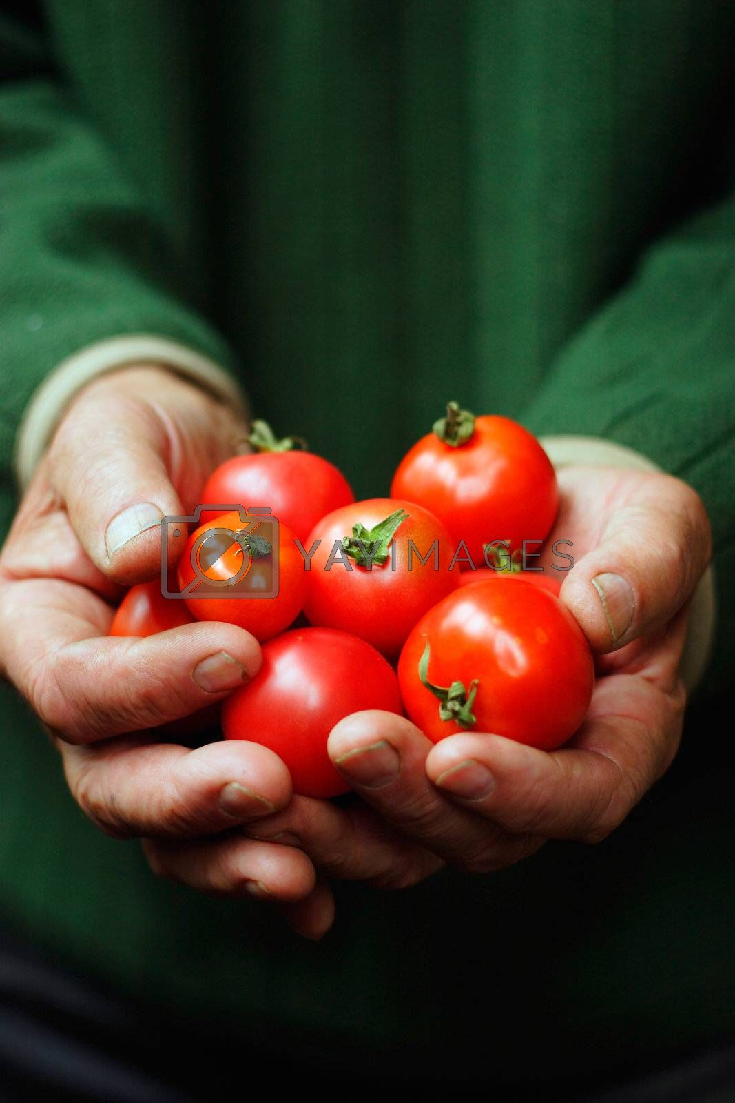 Tomatoes in hands of the old person.