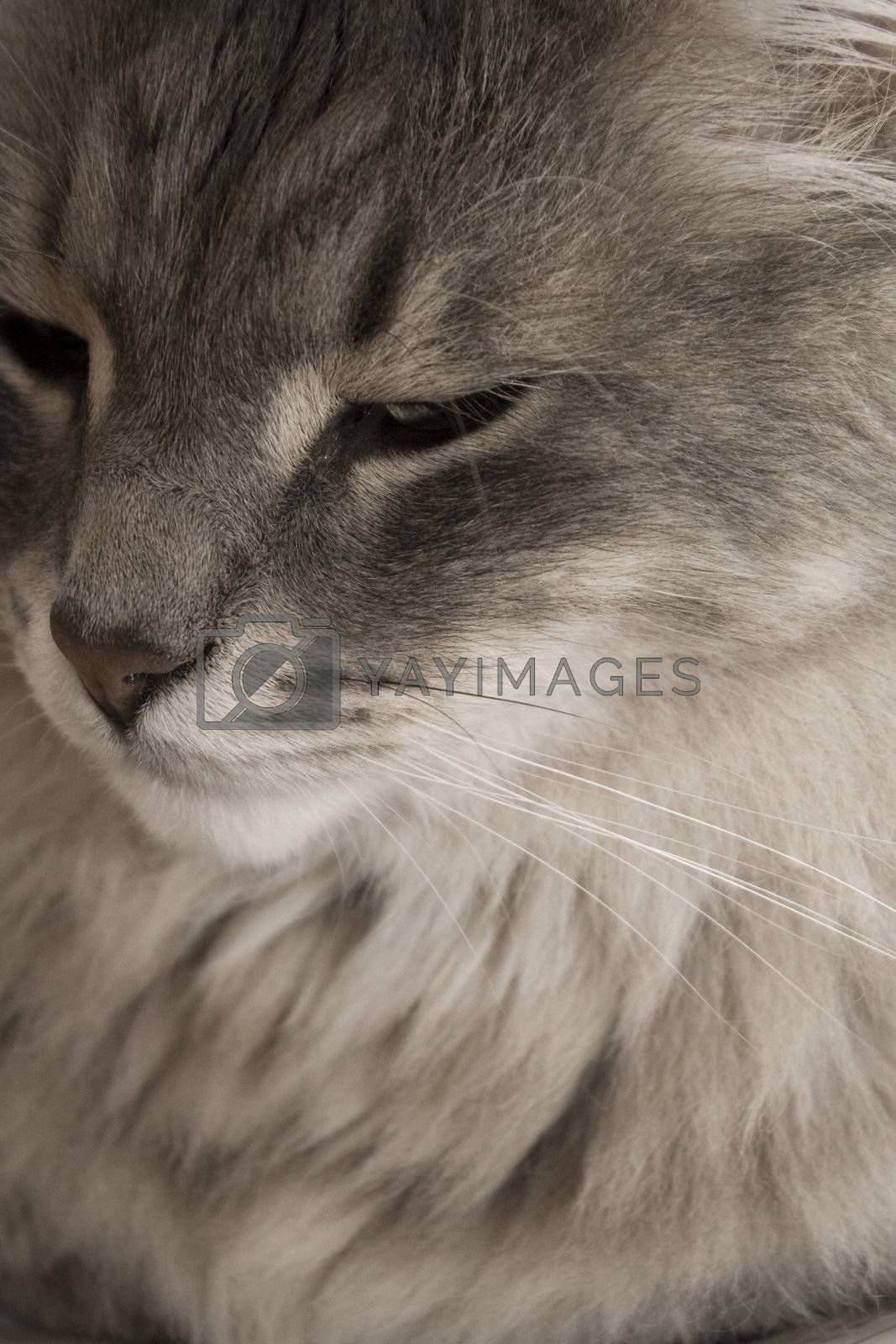 close up of a long hair cat