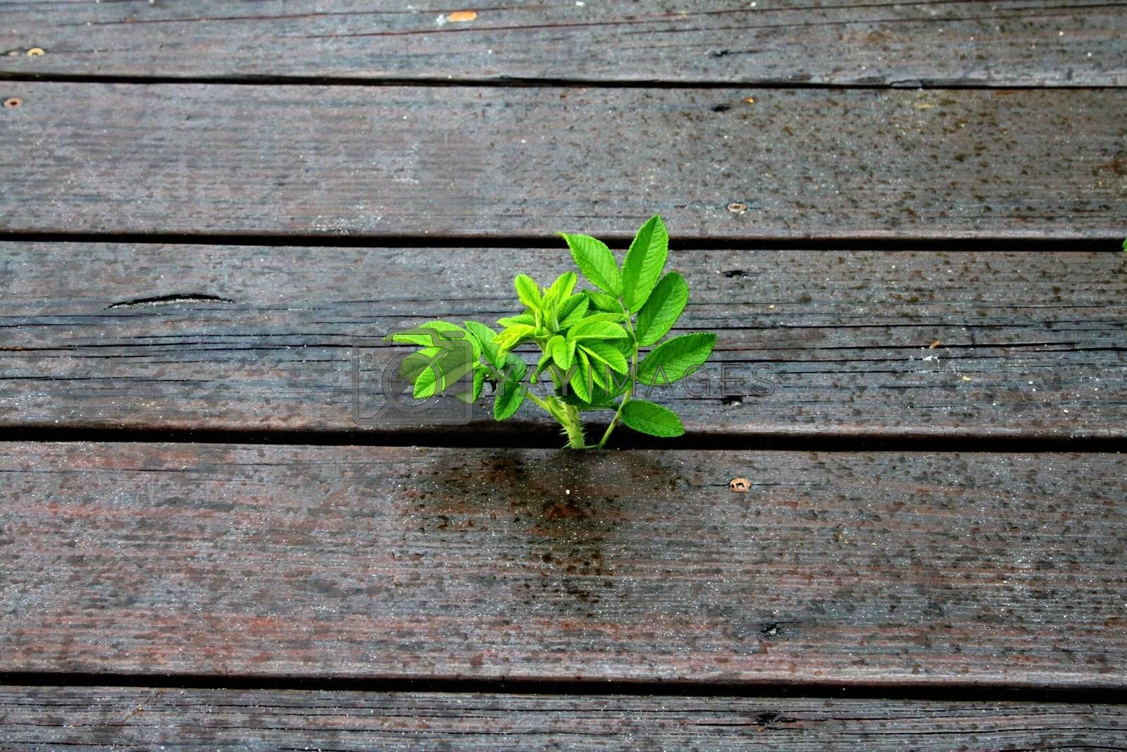 Wild plant growing between wooden walkway planks