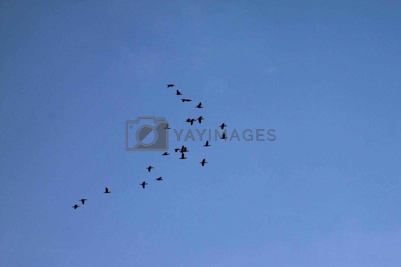 Flock of Canadian geese flying formation on a blue sky backdrop