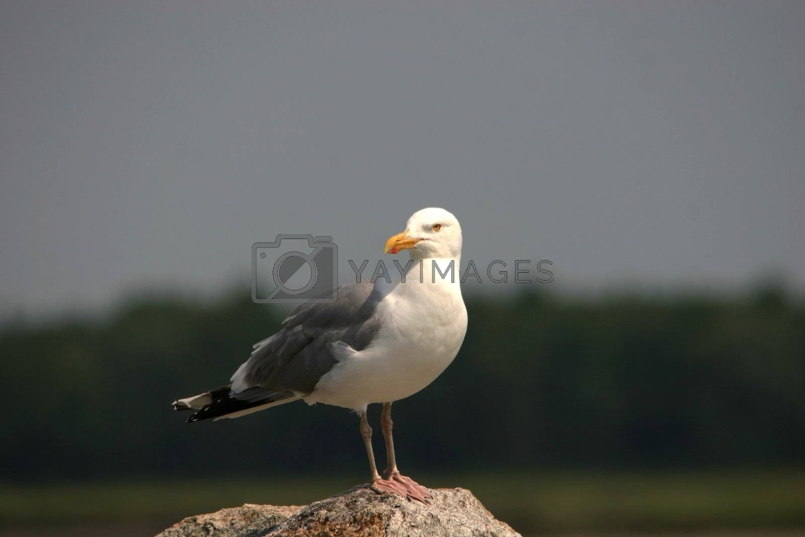 Seagull perched on a rock at the ocean