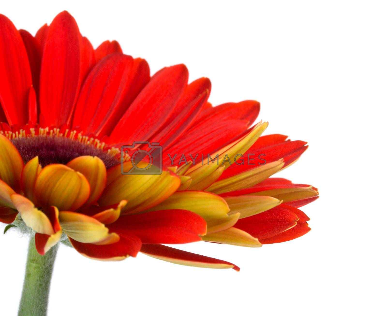part of red gerbera flower, isolated on white