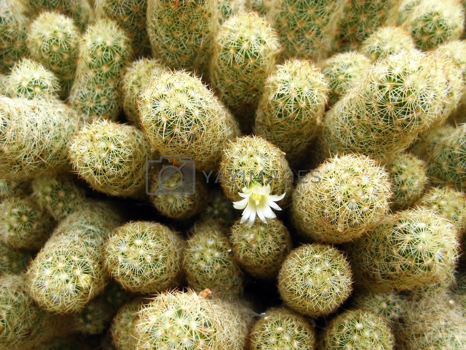 one actus flower