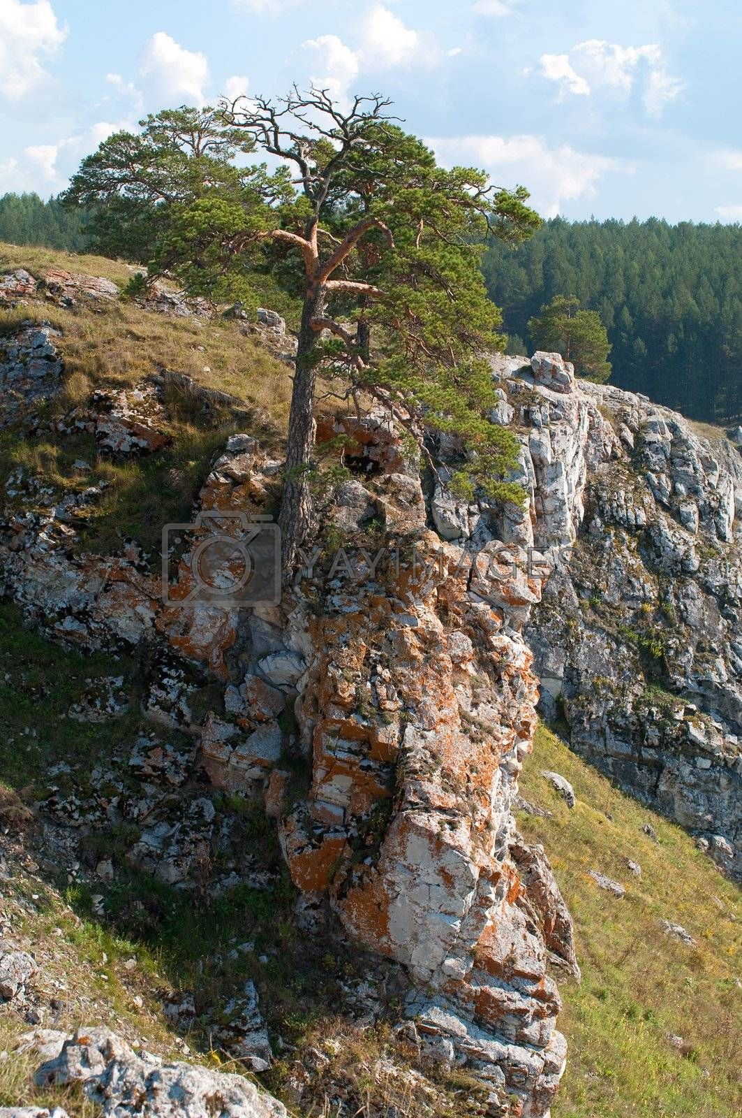 Royalty free image of Pine on a rock by Shpinat