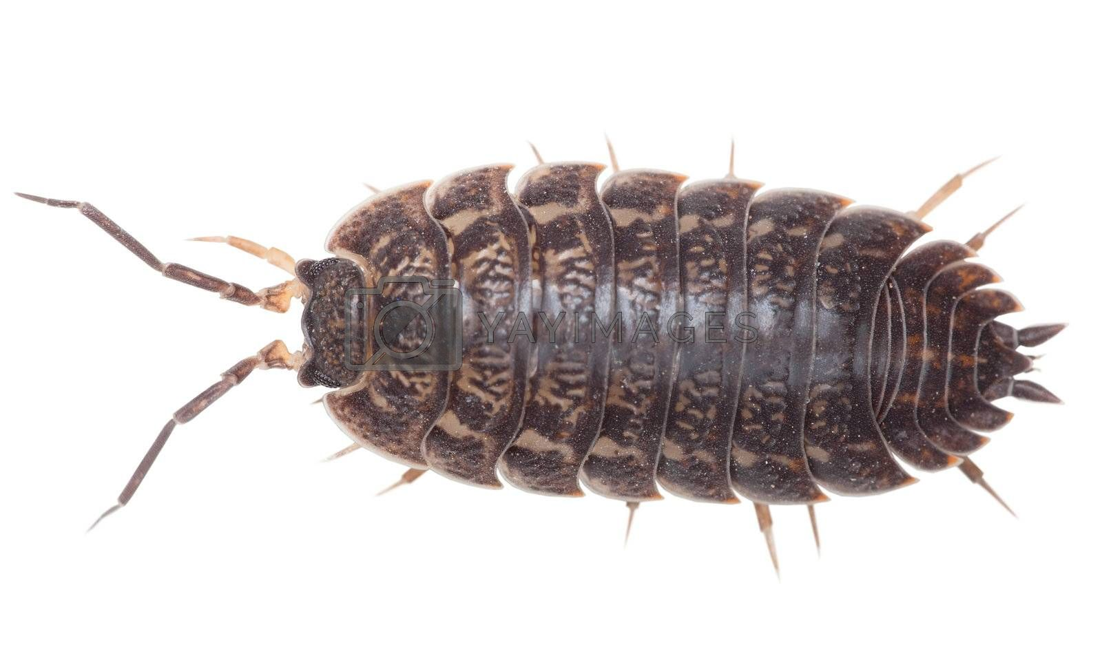 Royalty free image of Brown big wood louse - Porcellio scaber by pzaxe