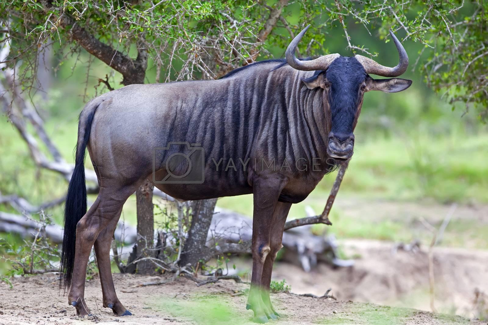 Royalty free image of Blue Wildebeest by nightowlza